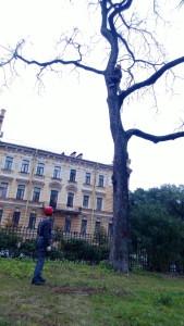 Удаление деревьев. Арбористка