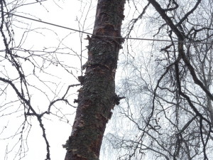 Арбористка, удаление деревьев, спилить дерево, верхолазы, промальп, спб, санкт-петербург, срубить сухое дерево, срубить дерево, цена, стоимость, заказать, срубить большое дерево, сколько стоит спилить дерево
